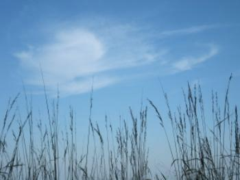 Tall grass with blue sky and white cloud in background